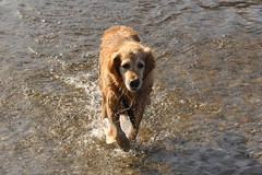 Molly in the sea (Cherryl.B) Tags: chien dog hund goldenretriever animal ami museau poils mammifre