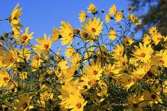 14-IMG_5944 (hemingwayfoto) Tags: berggartenhannover blhen blte blume garten gelb natur park pflanze prrie prrieblume prriegarten
