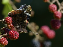 Red Admiral (ukstormchaser (A.k.a The Bug Whisperer)) Tags: red admiral uk butterfly butterflies fly flies animal animals wildlife milton keynes blackberry blackberries berry orchard tree trees bushes insect insects september autumn