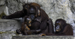 Family Fun Time (C. P. Ewing) Tags: orangutan ape family baby mother animal animals primate primates outdoor natural nature