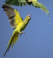 (Adisla) Tags: olympus em1 minolta rokkor rf 500mm f8 mf manual ave cotorra kramer volar