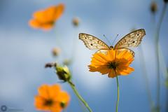 Beautiful Butterfly (Manzur Ahmed) Tags: butterfly beautiful bokeh cosmos flower dhaka bangladesh nature september 2016 nikon d7100 18140 outdoor