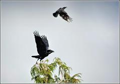 Corvid contretemps ... (Ed Phillips 01) Tags: corvus corax raven corvid carrion crow bird animal mobbing
