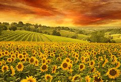 sunflowers field in the italian hill at sunset (derrickbrutel) Tags: sunflower landscape sunset nature field summer sky sun flower agriculture yellow sunlight green season outdoor meadow blossom light horizon sunny crop farming growth scene natural sunrise autumn vibrant beautiful background countryside plantation view evening rural tranquil scenic bright color vineyard cloudy golden farm tuscany hill italian vine winery scenery floral italy