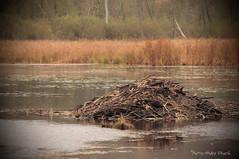 La Hutte ... ( P-A) Tags: habitation hutte animaux humains responsabilit nature eau lac rivire parcdelagatineau photos simpa nikonflickraward