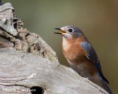 Singing Bluebird (ChrisF_2011) Tags: bird nature bluebird blue