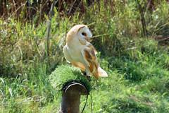 Barn owl Wildwood 270816 (Dan86401) Tags: barnowl tytoalba bird wildlife animal nature tytonidae wildwood