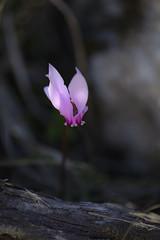 Cyclamen (hippyczich) Tags: cyclamen flower ithaca greece