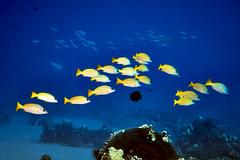 FLA-161001-ND800-8196 (ferlopez) Tags: bluestrippedsnapper fish lutjanuskasmira marinelife snapper taape underwaterphotography wailea mauihawaii usa