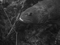 PA060281.jpg (Michael Bartosek) Tags: olympusepl3 catalinaisland olympus1442mm underwater catalina diving california pacificocean
