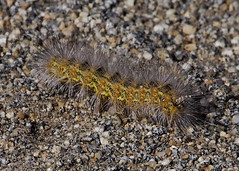 Caterpillar B119025focPr (jvpowell) Tags: bajacalifornia caterpillar guadalupevalley mexico