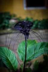 Tacca chantrieri, fleur chauve souris, fleur du diable (patrick Thiaudiere, thanks for 1 million views) Tags: fleur noire black blackflower moustaches bat batflower