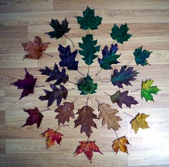 Cycle of Leaf  (1) (Simon Dell Photography) Tags: cycle leaf autumn fall colors maple leafs leaves leve wood back ground life simon dell photography art wall hanging print 2016 awsome xxx bbc winter sheffield hackenthorpe s12 shirebrook valley