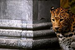 Leopard model (sz1507) Tags: fermo concentration concentrazione animali animals bigcat cat d60 nikond60 belgique brugelette bruxelles 2016 parco park jardin jardindumonde pairidaiza animalier macchie sguardo eyes immobile felini felines leopardo leopard