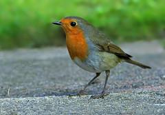 European Robin ( Erithacus rubecula ) (Mid Glam Sam1) Tags: robin garden bird wales local feeding europeanrobin songbird erithacusrubecula