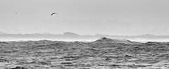 all that I could bring (keith midson) Tags: bicheno tasmania coast coastal bird tern flying storm windy wind ocean