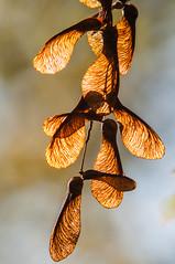 Illuminated seed from oak tree @ Waterleidingduinen (PaulHoo) Tags: nikon d300s nature amsterdamse waterleidingduinen sun detail tree seed bokeh illuminated 2016 autumn forest woods holland netherlands dof