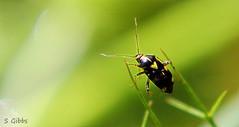 bug on stilts (gshaun12) Tags: bug insects green macro macrodreams fantasticnature nature animals bokeh upclose art