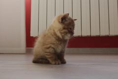 Gordi (NerePlum) Tags: gatito cachorro cat gordi marrón monada cuki