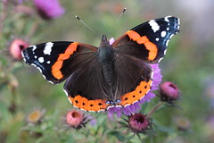 Admiral (Vasquezz) Tags: admiral redadmiral vanessaatalanta schmetterling butterfly insekt insect coth sunrays5 twitter coth5 alittlebeauty inaturalist ngc