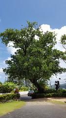 Fruit Bats in the tree