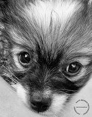 Beady Eyes Black and White by Kaye Menner (Kaye Menner) Tags: photography beadyeyesblackandwhite beadyeyes blackandwhite beady eyes bigeyes puppy dog puppydog animal papillon papilloncross nose whiskers fur furry hair longhair longhaireddog kayemennerphotography kayemenner tiny cute cutedog cutepuppy glitteringeyes loving lovingeyes adorable beautiful kayemenneranimal kayemennerblackandwhite black grey gray white blackwhite whiteblack blackwhitedog blackandwhitedog dogart