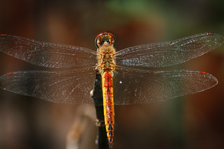 Dragonfly on