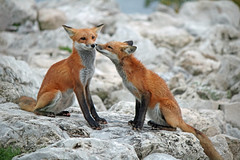 Brother, Sister (marylee.agnew) Tags: red fox siblings kiss love mammal canine nature cute kits young outdoor wildlife