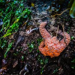 Clung (ahockley) Tags: devilspunchbowl oregon oregoncoast rock starfish tidepools