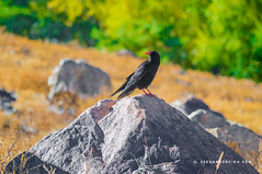 Red-billed Chough 2 - Hunza Valley - Gilgit Baltistan - Pakistan (zeeshanbsheikh) Tags: vrii baltistan bird chough crow gilgit landscape misgir nature nikon pakistan redbilled border hunza valley