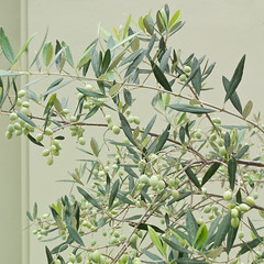 .... (a.penny) Tags: fuji fujifilm finepix x10 apenny square quadrat 1x1 500x500 corfu korfu olive olives kalami