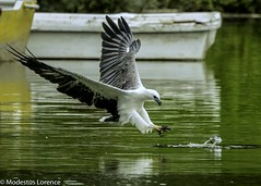 White-bellied sea Eagle fishing (Modestus Lorence) Tags: birds whitebellied seaeagle fishing singapore canon outdoor