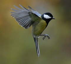 Parus major (kaius.artimo) Tags: parusmajor greattit filght arriving helsinki