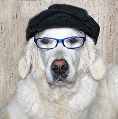 "Ditte and her ""intellectual"" look :-) (Ingrid0804) Tags: goldenretriever justfun smartdog intelligentdog mygearandme intellectuallook dogwithhatandglasses"
