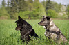 (tolltroll11) Tags: dogs hunde bardino