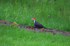 Pileated Woodpecker (artlessfun) Tags: male bird kalama dryocopuspileatus pileatedwoodpecker artlessfun cowlitzcountywa img14829
