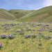 Lupine homesteaders