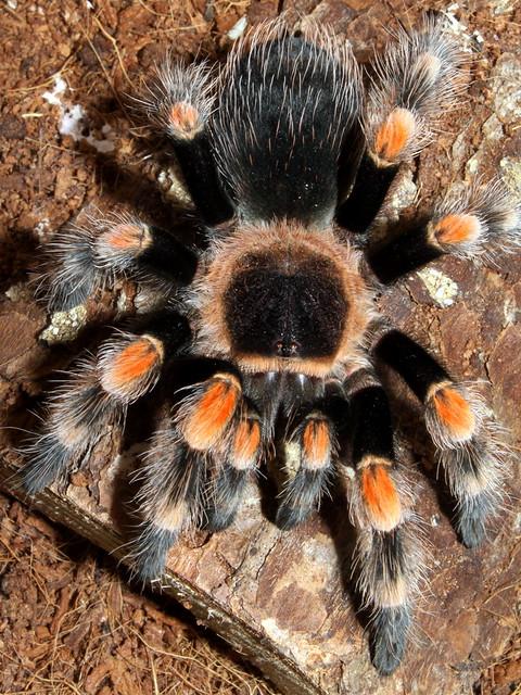 Tarantula: Mexican Redknee - Brachypelma smithi