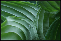 Quilted Leaves (ioensis) Tags: leaves saint st garden louis leaf spring mo missouri quilted hosta hostas webster groves jdl ioensis 88611b