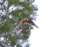 In Training (woodstork53) Tags: fauna earth birding passage redshoulderedhawk biodiversity falconiformes buteolineatus babyhawk accipitrinae diurnalbirdofprey