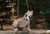 Got you (Cloudtail the Snow Leopard) Tags: wildpark pforzheim tier säugetier animal mammal katze cat feline luchs lynx eurasischer nordluchs cloudtailthesnowleopard