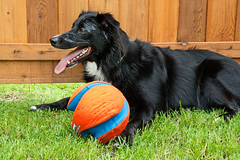 Bandit Cooling Off (Rachael Marie M) Tags: ball bordercollie bandit actionshots chuckit