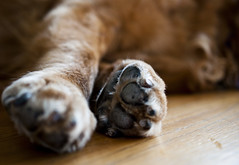 paws (melissa fernald) Tags: old dog dogs animal animals puppy gold golden paw retriever paws