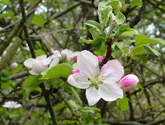 Apples are a blooming (one.juniper) Tags: park ontario canada flower tree beach apple nature water sunshine fruit blossom weekend wildlife may naturepreserve lakehuron provincialpark daytrip wetland portelgin saugeenshores appleblossoms victoriaday longweekend macgregorpoint brucecounty staycation