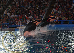 Takara and Unna3 (GypsySkye7) Tags: sanantonio rocks believe orca seaworld shamu takara killerwhale unna captivity shamushamu
