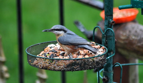 Nuthatch with food