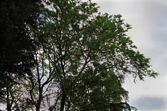 Smooth Leaved Elm Canopy (Andy.Harper) Tags: leaves smooth seed bark elm leaved ulmus