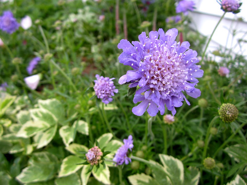 more blue scabiosa