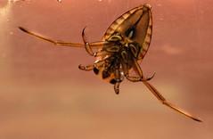 Notonectidae sp. (ComputerHotline) Tags: life france macro nature animal insect franchecomt fra insecte vie sermamagny