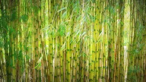 bamboo hillier